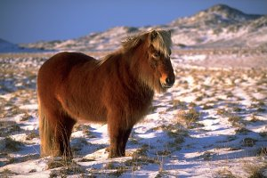 IcelandicHorseInWinter